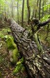 Forêt de cigûe, montagnes fumeuses grandes NP, TN photographie stock libre de droits
