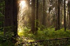 Forêt de conifère avec des rayons du soleil Photographie stock