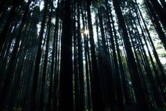 Forêt de Cypress et faisceau lumineux de lumière naturelle Image libre de droits