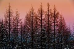 Forêt de féerie d'hiver au coucher du soleil photo libre de droits