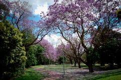 Forêt de fleurs de cerisier à l'université du campus de Queensland photos stock