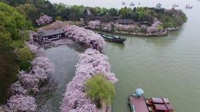 Forêt de fleurs de cerisier banque de vidéos