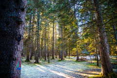 Forêt de Frost dans le contre-jour images stock