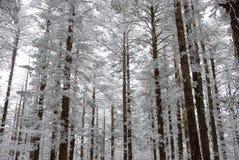 Forêt de givre Photo stock