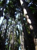 Forêt de grands arbres dans l'Australie de parc de Paranella Image libre de droits