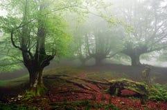 Forêt de hêtre Photo libre de droits