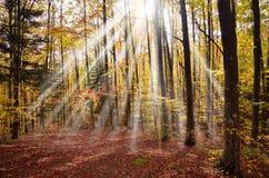 Forêt de hêtre Photo stock