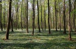 forêt de hêtre Image libre de droits