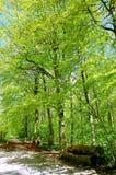 Forêt de hêtre au printemps Photo stock