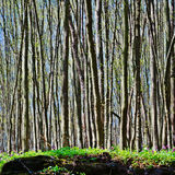 Forêt de hêtre au printemps Photographie stock libre de droits