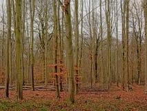 Forêt de hêtre d'hiver dans la campagne flamande photo libre de droits