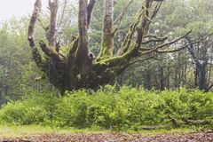 Forêt de hêtre d'Otzarreta Image libre de droits