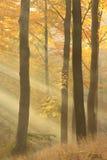 Forêt de hêtre dans le brouillard Photographie stock libre de droits