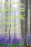 Forêt de hêtre de Hallerbos avec des jacinthes des bois Photographie stock libre de droits