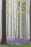 Forêt de hêtre de Hallerbos avec des jacinthes des bois Photos libres de droits