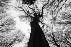 Forêt de hêtre en noir et blanc Photographie stock