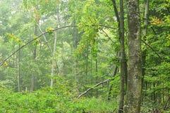 Forêt de hêtre le matin brumeux d'automne photo stock