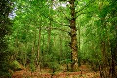 Forêt de haut mountaine en parc national d'Ordesa en Espagne Photo stock