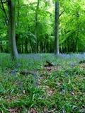 Forêt de jacinthe des bois Photo libre de droits