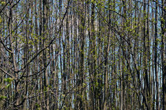 Forêt de jeunes arbres au printemps Photographie stock libre de droits