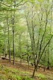 Forêt de jeunes de Vierge Images libres de droits