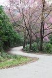 Forêt de l'Himalaya sauvage de cerise. Images stock