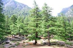 Forêt de l'Himalaya verte abondante de pin Photographie stock