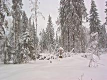 Forêt de l'hiver. Effacement de neige Photographie stock libre de droits