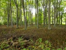 Forêt de la Norfolk au R-U avec des arbres dans le taillis dégagé Photos libres de droits