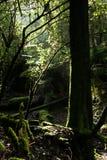 Forêt de la Tasmanie Image libre de droits