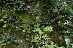 Forêt de lierre Photo stock
