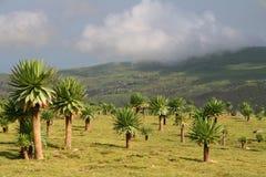 Forêt de Lobelia dans Simien Mts Images stock