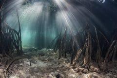 Forêt de lumière du soleil et de palétuvier Photos stock