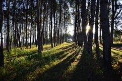 Forêt de mélèze avec la lumière du soleil et les ombres au coucher du soleil, Thaïlande Photos libres de droits