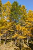 Forêt de mélèze de Dahurian Images libres de droits