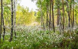 Forêt de marais, blanc de floraison photographie stock
