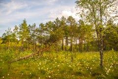 Forêt de marais, blanc de floraison images stock