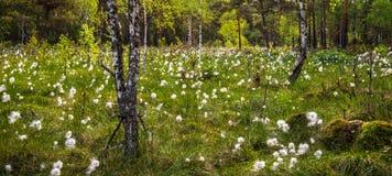 Forêt de marais, blanc de floraison image stock
