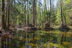 Forêt de marais d'aulne de printemps Images libres de droits