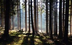 Forêt de matin avec le soleil Photos libres de droits