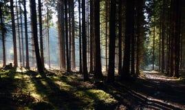 Forêt de matin avec le soleil Photo libre de droits