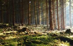 Forêt de matin avec le soleil Images libres de droits
