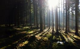 Forêt de matin avec le soleil Photo stock