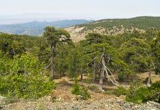Forêt de montagne de pin Photographie stock libre de droits