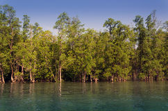 Forêt de palétuvier à Phuket Photo libre de droits