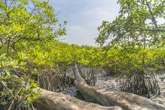 Forêt de palétuvier Photo stock