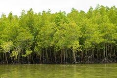 Forêt de palétuvier Photographie stock libre de droits