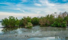 Forêt de palétuvier avec des oiseaux marchant sur la boue Beau ciel bleu photos libres de droits