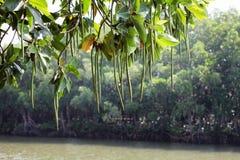 Forêt de palétuvier de baie de Thung Kha, Chumphon, Thaïlande images stock