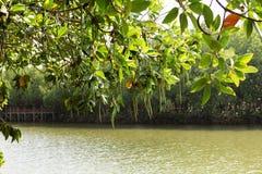 Forêt de palétuvier de baie de Thung Kha, Chumphon, Thaïlande images libres de droits